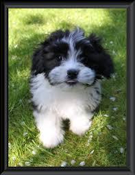 full grown shichons google search pets pinterest fur