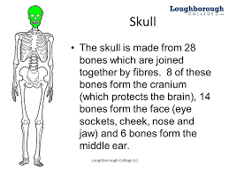 How Many Bones Form The Cranium The Bones Of The Anterior Skeleton Ppt Download