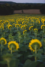 Kansas Sunflower Field At Grinter Farms In Lawrence Kansas