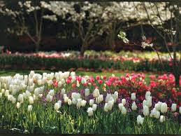 a tulips in texas southern living