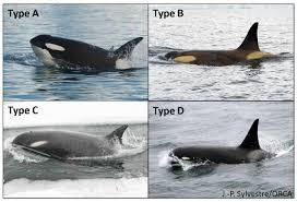 first footage captured of rare u0026 8216 type d u0026 8217 orcas
