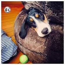 bluetick coonhound louisville ky adopt presley on beautiful for her and georgia