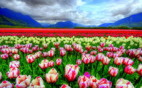 flower places field gorgeous tulip sea flowers places attractions dreams fields