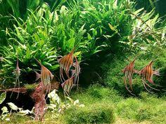 Takashi Amano Aquascaping Techniques Pin By Day Lam On A Q U A R I U M Pinterest Aquariums And