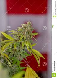 cannabis flower ready to harvest in front of canadian flag stock