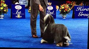 bearded collie the national show thanksgiving day