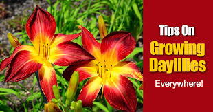 day lilies growing daylilies how when and where on daylily care