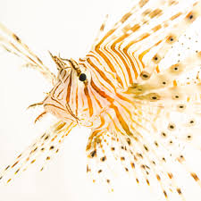 red lionfish national geographic