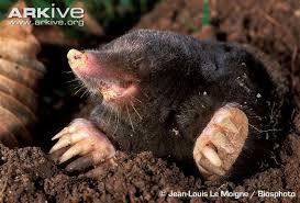 Moles Blind Mole Videos Photos And Facts Talpa Europaea Arkive