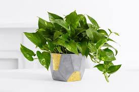 indoor plants singapore 9 easy to care for plants in singapore the finder