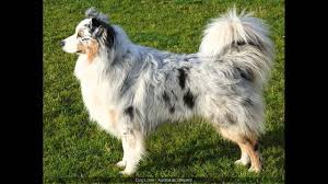 australian shepherd schnauzer mix australian shepherd boxer mix youtube