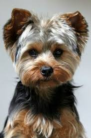 haircuts for yorkies with thin hair pin by janice gilliard on dogs pinterest yorkies dog and yorkie