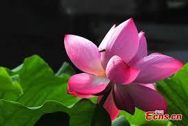 Lotus Flower Bloom - lotus flowers bloom in shanghai people u0027s daily online
