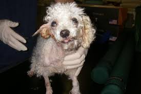bichon frise 17 years old newbury poodle owner banned from owning pets for 10 years get