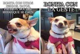 Memes De Chihuahua - bonita con la gente chihuahua enojado y feliz meme on memegen