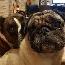 pug x boxer dog otis the dog suffers horrific gash and u0027life threatening infection