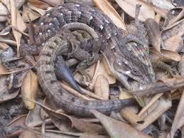 lizard love bites nature nhmla
