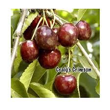 Cherry Tree Fruit - bare root craig u0027s crimson cherry tree dwarf groworganic com