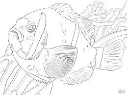barrier reef anemonefish coloring page free printable coloring pages
