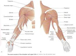 muscles of the upper limb and torso anatomy body system