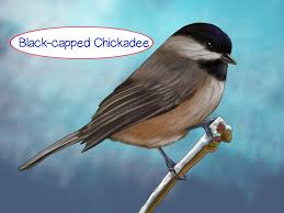 how to recognize the chickadee 11 steps with pictures wikihow