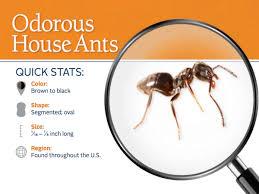 odorous house ants odorous ants pest control profile