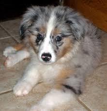 corgi x australian shepherd 32 best images about dogs on pinterest