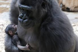 Gorilla Gorilla Gives Birth Suddenly At Prague Zoo Time Com