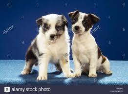 australian shepherd puppy jack russell terrier puppy and australian shepherd puppy sitting