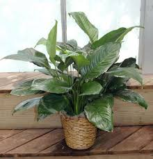 Peace Lily Spathiphyllum Peace Lily In Basket Kremp Com
