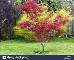 japanese maple tree wd grden wdy pril dy sale for near me meaning