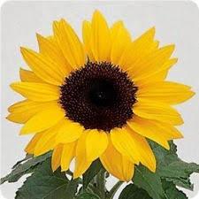 sunflower seeds ebay