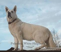 belgian sheepdog vs german shepherd white german shepherd dogs u0026 puppies polarbear