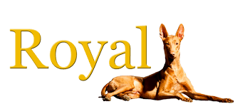 afghan hound of america pharaoh hound club of america the pharaoh hound fanciers club