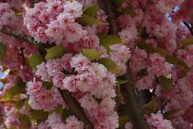 amazon com prunus serrulata japanese sakura flowering cherry