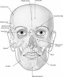 Human Jaw Bone Anatomy Elements Of Morphology Human Malformation Terminology
