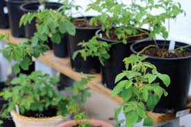 Soil Mix For Container Gardening - my potting soil recipe for container grown roses