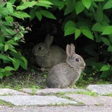 How Do I Get Rid Of Rabbits In My Backyard How To Keep Rabbits Out Of The Garden