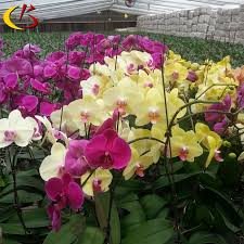orchid plants for sale phalaenopsis orchid seedlings from taiwan phalaenopsis orchid