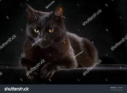 halloween background black cat black cat on dark background domestic stock photo 72138859