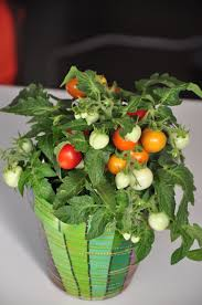 Vegetable Garden In Pots by Top 10 Miniature Vegetables To Grow In Pots Top Inspired
