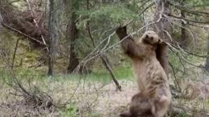 Dancing Bear Meme - 5 gifs of the pole dancing bears on planet earth ii that will make