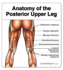Knees Anatomy Upper Leg Anatomy The Upper Leg Muscles Provide Your Knees With