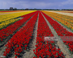 tulip fields nordwejkerhout holland europe stock photo getty images