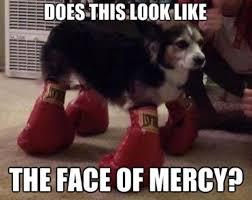 boxer dog meme champion boxer dog shows no mercy