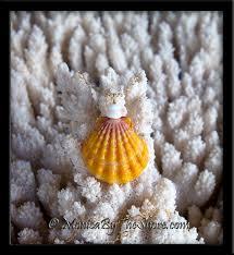 huge hawaiian sunrise shell