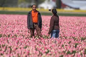 skagit valley tulip festival bloom map if it s april for blooming skagit valley the seattle times