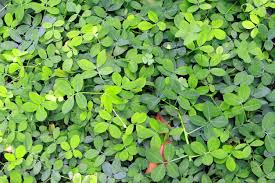 growing peanut cover crops how peanut plants improve soil fertility