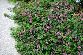 Pink Spring Flowering Shrubs - the plant hunter no more weeding or mulching ground covering shrubs