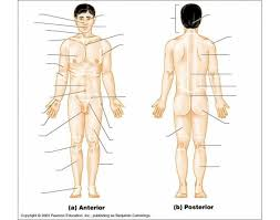 Directional Terms Human Anatomy Anatomical Regional Terms